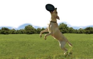 KONG Extreme Flyer mit Hund springend