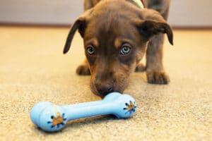 KONG Puppy Goodie Bone blau mit Welpe